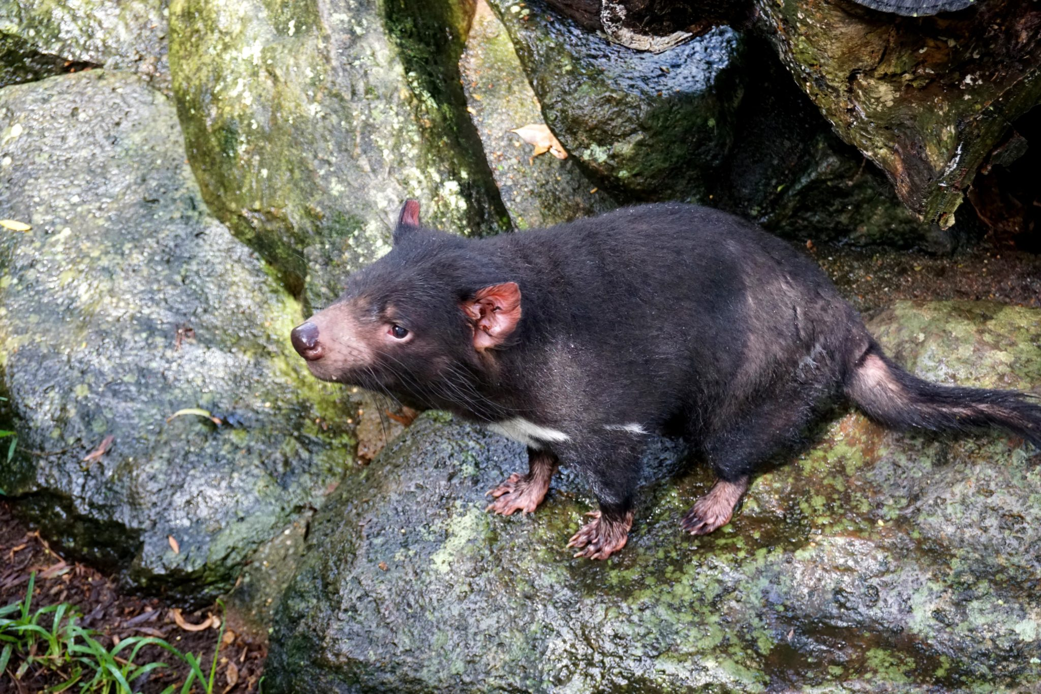 Tasmanian Devil standing on a rock.