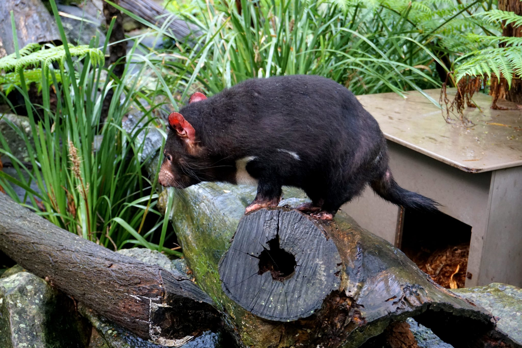 A Tasmanian Devil awkwardly standing on a tree stump.