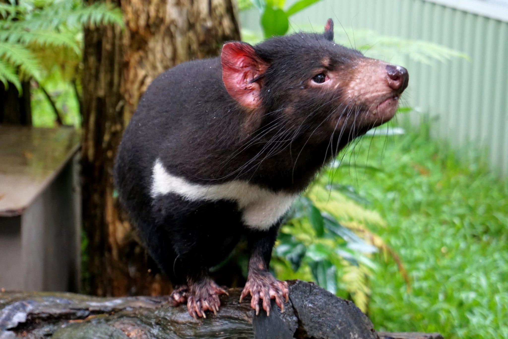 Tasmanina Devil