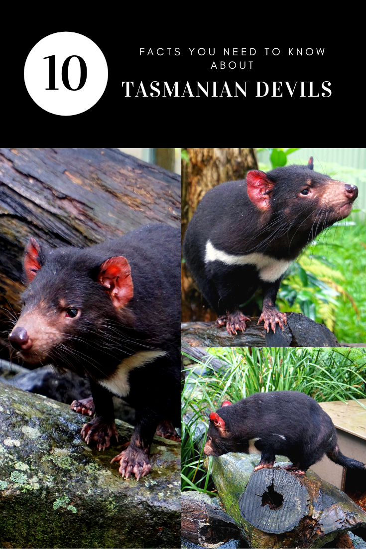 Tasmanian Devil pin