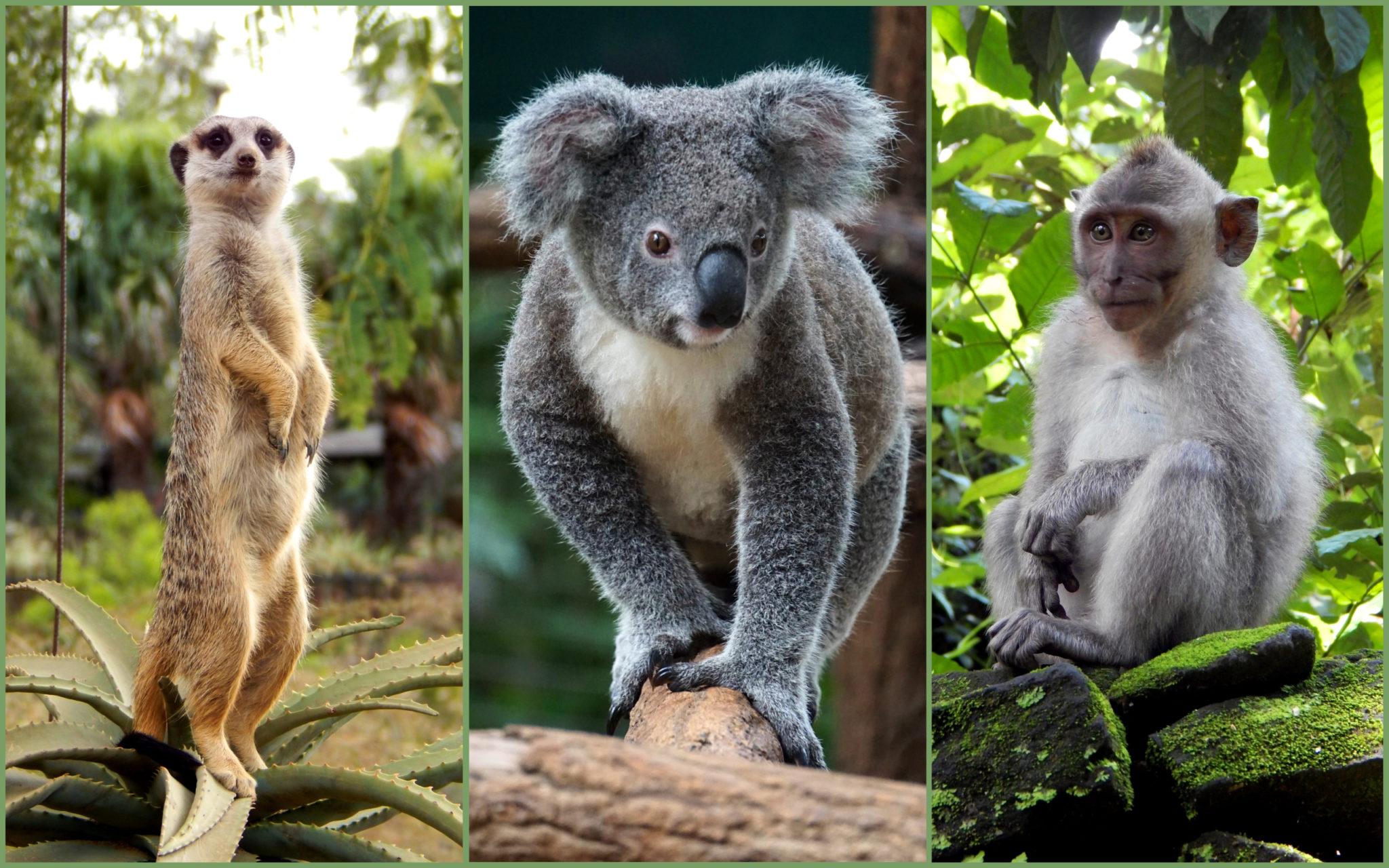 A photo of a meerkat, koala and monkey.