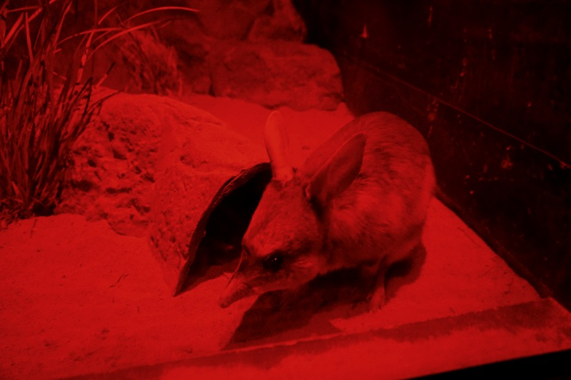 A bilby in the Nocturnal House.