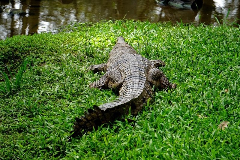 A crocodile relaxing on the grass.