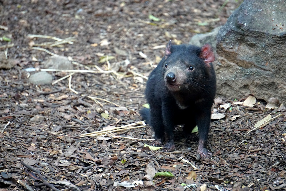 A Tasmanian devil in her enclosure at Lone Pine Koala Sanctuary.