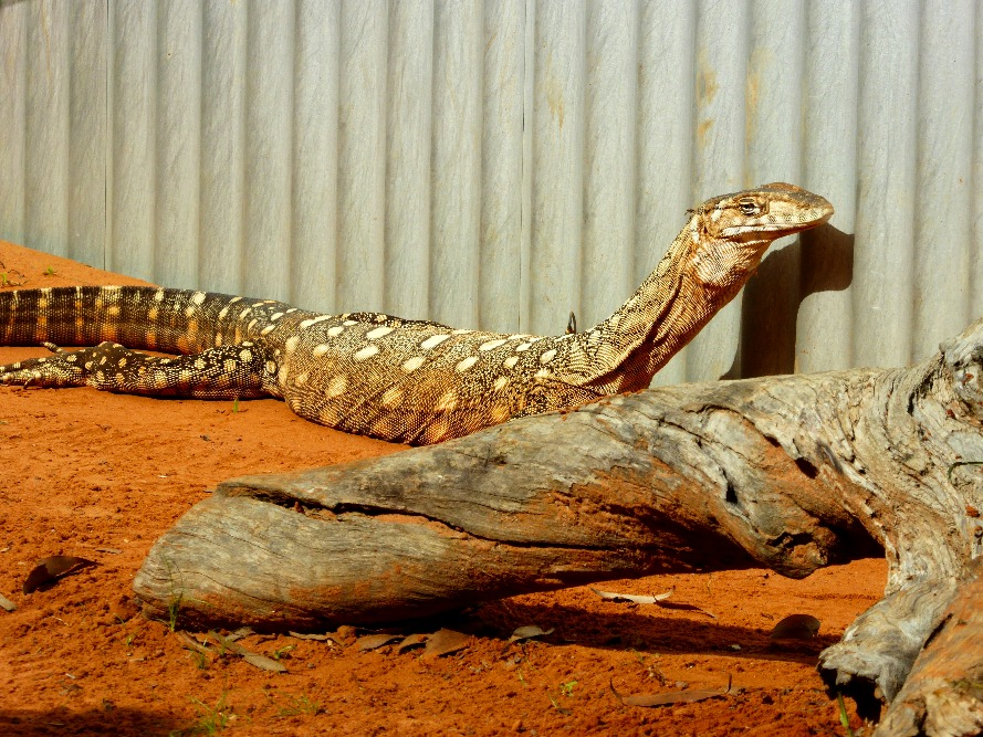 Australia's biggest lizard, the perentie.