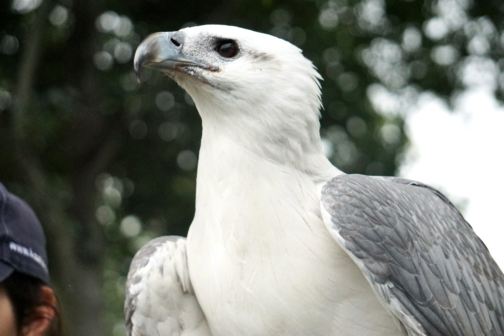 White-bellied Sea Eagle at Lone Pine Koala Sanctuary.