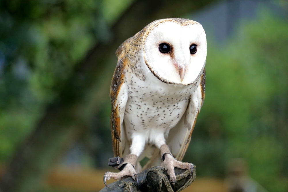 A barn owl at Lone Pine Koala Sanctuary.