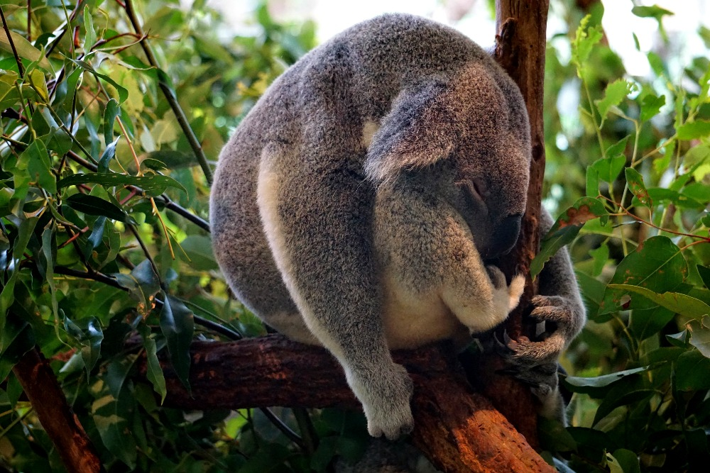 A sleeping koala at Lone Pine Koala Sanctuary.